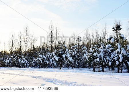 Pine And Fir Forest Covered With Snow After Strong Snowfall. Green Pine Trees In The Snow In Winter