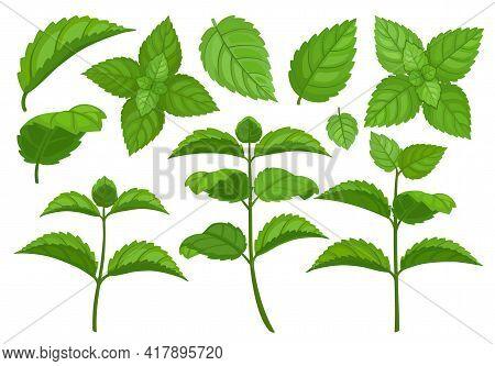 Mint Leaf Cartoon Vector Set Illustration Of Icon.fresh Peppermint Vector Set Of Icon.set Illustrati