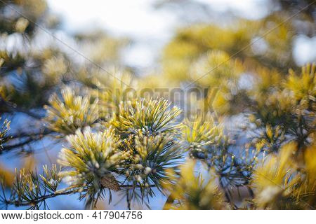 Natural Background Or Wallpaper Of Yellow Spruce Branches And Spruce Needles. Strong Bokeh