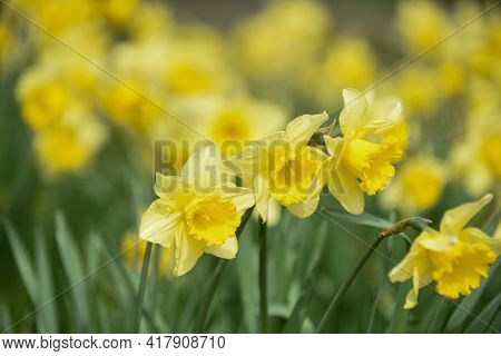 Daffodil Flowers Growing In A Countryside Field