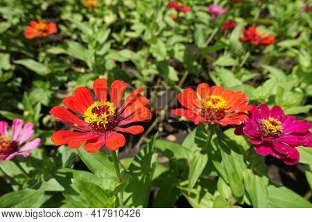 Magenta Colored, Red And Orange Flowers Of Zinnia Elegans In July