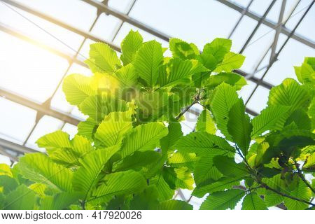 Crown Of A Tree, Carved Leaves With Pronounced Veins, Illuminated By The Sun In A Greenhouse