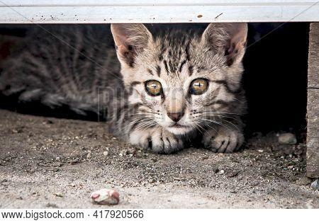 Adorable Little Gray Little Kitten Plays And Looks. Domestic Kitten.