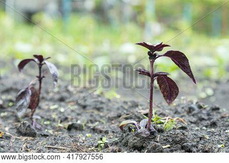Purple Basil In The Garden. Garden Fresh Basil. Close Up. Toned