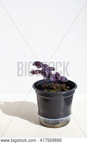 Young, Italian Purple Basil In A Black Pot On A White Background. The Shadow Of The Light. Healthy F