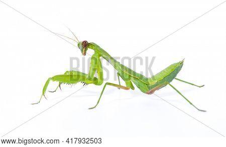 Praying mantis isolated on white background.