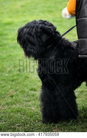 Russia, Krasnodar April 18, 2021-dog Show Of All Breeds. A Black Terrier Puppy Is Preparing For A Do