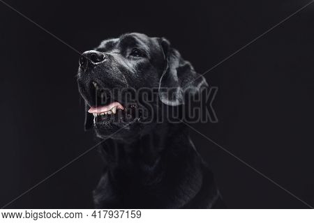 Closeup Photo Of A Handsome Black Retriever In Dark Background