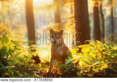 Beautiful Shiba Inu Puppy Sitting In The Enchanted Fall Forest At Golden Sunset. Cute Red Shiba Inu