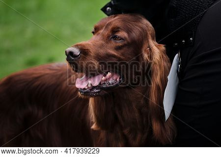 Russia, Krasnodar April 18, 2021-dog Show Of All Breeds. Charming Fluffy Hunting Dog With Long Ears.