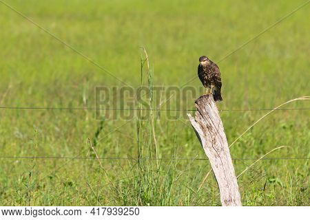 Snail Kite Landed In Trunk Wire Fence With Green Grass In The Background.