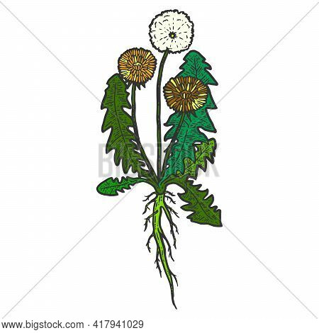 Botany, Dandelion Plant With Root. Isolated Object. Sketch Scratch Board Imitation Color.