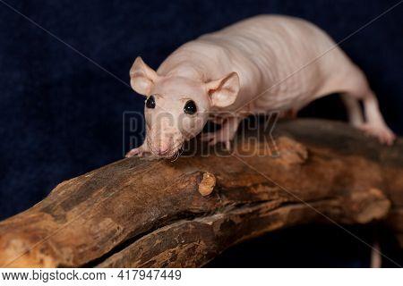 Cheeky hairless rat walking on a branch in dark blue background