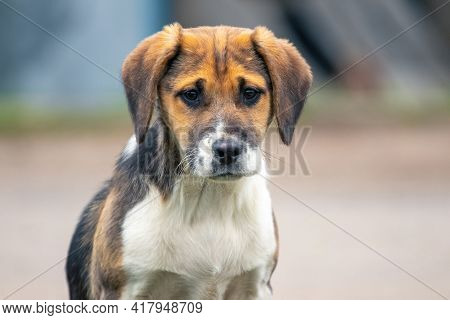 Young Dog Of The Estonian Hound Breed Close Up On A Blurred Background With An Expression Of Interes