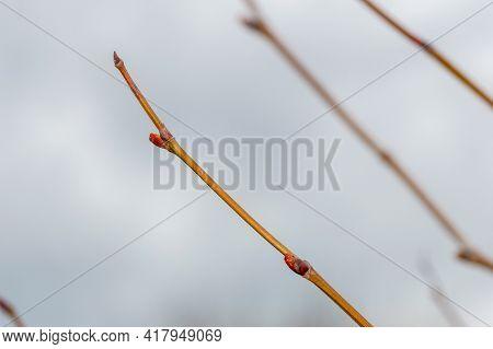 Macro Photo Of Buds Of Platanus X Hispanica.