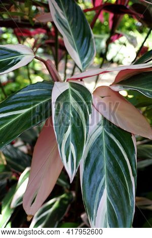 The White And Green Variegated Leaves Of Stromanthe Sanguinea Triostar
