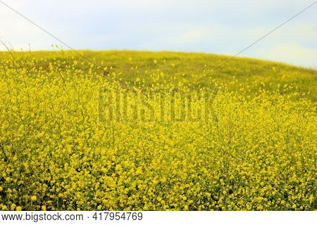 Mustard Flower Blossoms During Spring On A Rural Hillside Taken At A Prairie In The Puente Hills, Ca