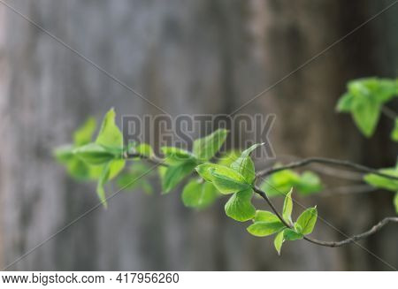 Fresh Green Leaves Branches On The Background Of A Blurred Tree Trunk. Background.