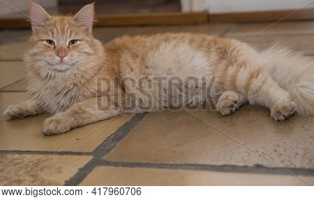 Red House Tiger Purrs Contentedly Lying On The Floor In The House