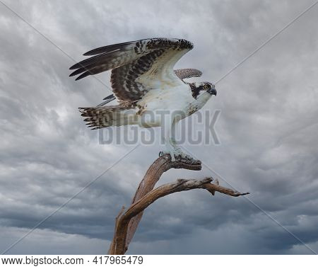 Osprey Just Landed On A Perch, Gray Clouds In Background