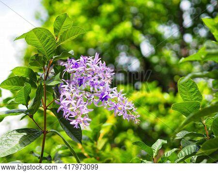 Sandpaper Vine Purple Wreath Flower Bunch Purple Bouquet Of Five Petals Like A Five Pointed Petal Bl