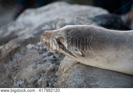 Harbor Seal. Seals On The Rocks. Sea Lions On The Cliff At La Jolla Cove In San Diego, California.