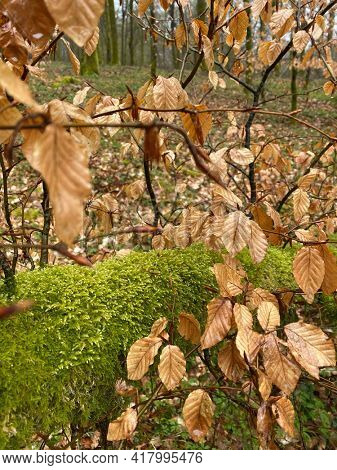 Beech foliage with moss in the background during the Hiking the