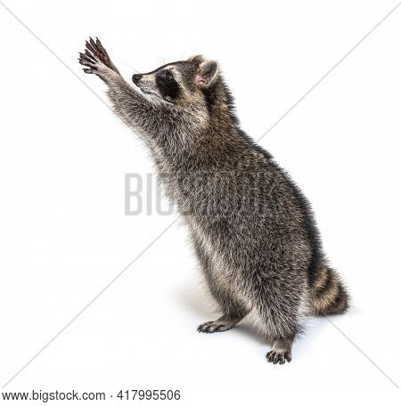 Racoon on hind legs, trying to reaching up, Curiosity