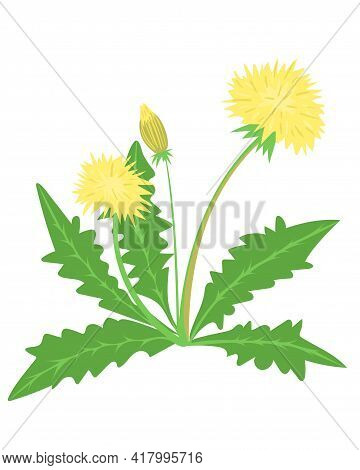 Yellow Dandelions. The Weed Is Bright Yellow In Color. Weed Bush. Spring And Summer Flower.vector.