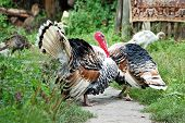 Two male turkey cock on village courtyard poster