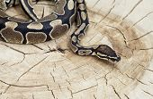 Royal Python snake on a old stump poster