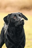 Shot of a Black Labrador in Countryside poster