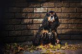 american cocker spaniel portrait on autumn brick background poster