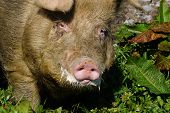 Domestic free range boar foaming at the mouth Westland New Zealand poster