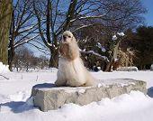 american cocker spaniel portrait in winter snow scene (champion show dog) ** Note: Slight blurriness, best at smaller sizes poster