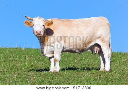 Cow On Pasture