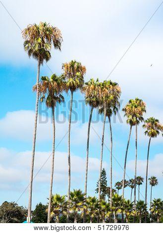 San Diego, California Palm Trees at the Beach