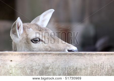 A female deer staring over a wooden fence poster