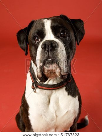 Sad Boxer on red background