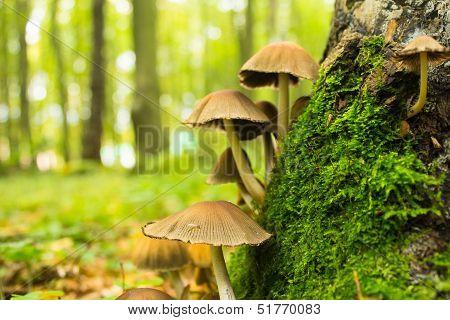 Mushrooms Near Stump