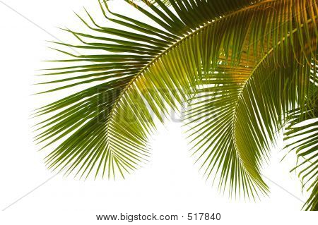 Coconut Palm Fronds