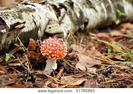 Fly Agaric In The Forest Near The Birch