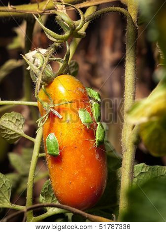Closeup view of several pests on tomato fruit. poster