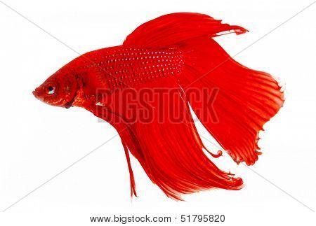 Red Siamese fighting fish (Betta splendens) isolated on white background.