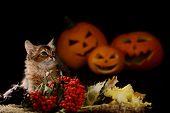 Scary Halloween pumpkin and Somali kitten on black background poster
