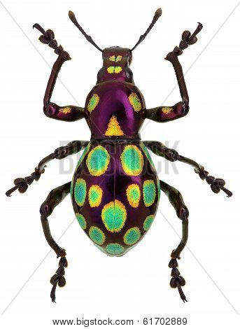amazing exotic weevil Pachyrhynchus gemmatus isolated on white poster