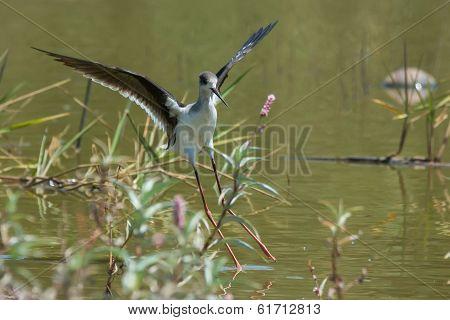 Black-winged Stilt Landing In A Shallow Pond