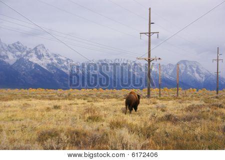 Single bull bison walking wherever he wants [Bison bison] Grand Teton National Park Wyoming poster