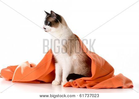 cat under covers - ragdoll sitting under orange blanket on white background - male poster
