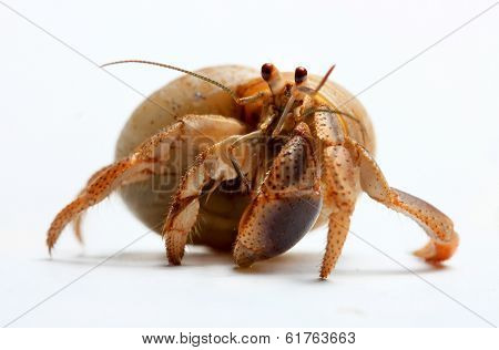 Hermit Crab from Caribbean Sea